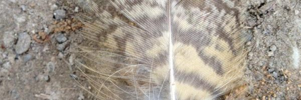 Free Lesson Plan: Eagle Feathers and Wings