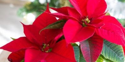 Learn Complementary Colors with Poinsettias!
