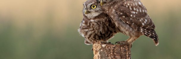 Owls of Red Creek Wildlife Center