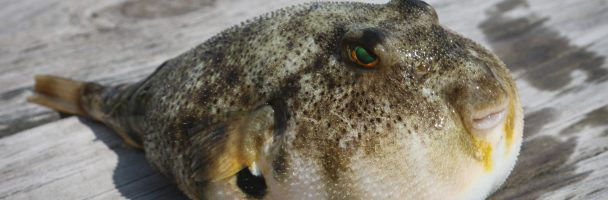 Fly Paint Puffer Fish