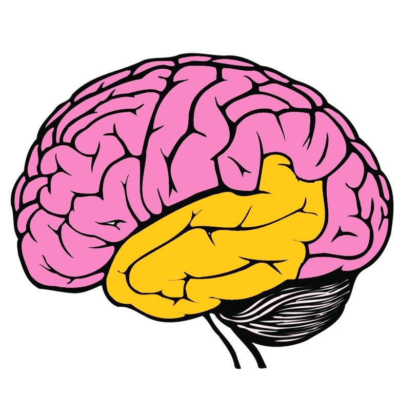 Temporal Lobe in Yellow