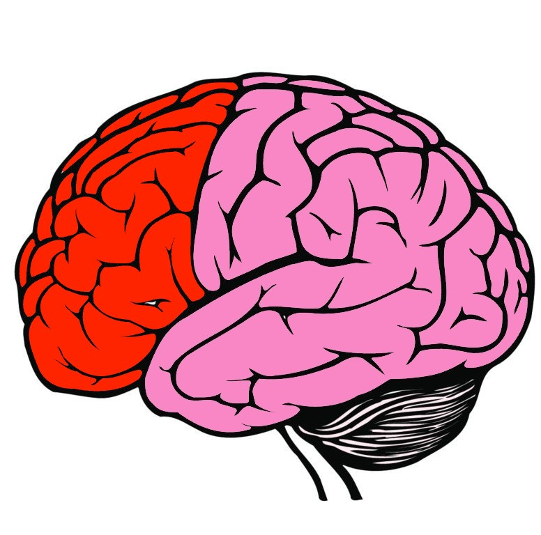 The frontal lobe highlighted in red