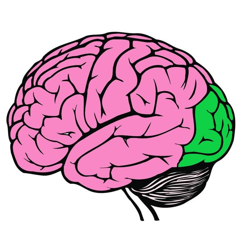 Occipital Lobe highlighted in green
